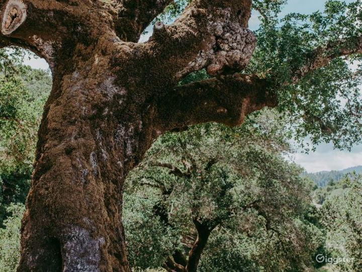 Rustic Oak Tree Terrace in California Wine Country Photo 4