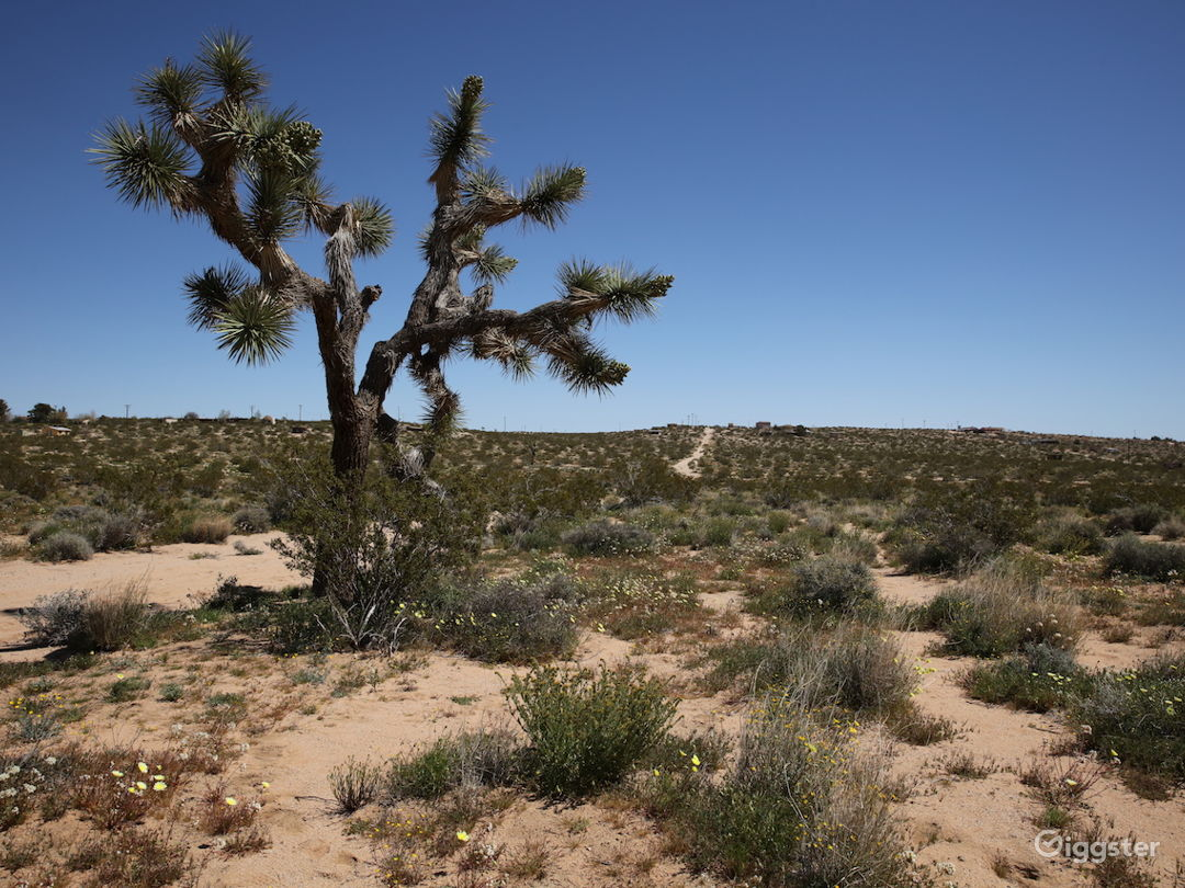 One of the Joshua trees on the property