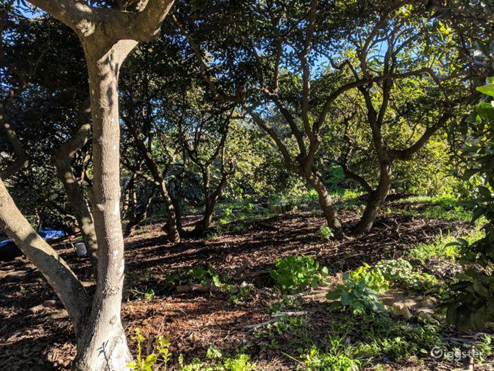 under a deep avocado orchard canopy