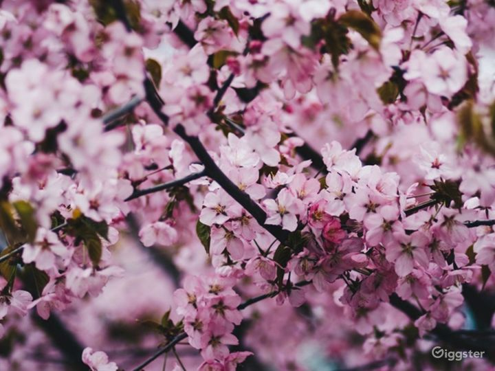 Cherry Blossom-themed Bar in Mayfair, London Photo 3