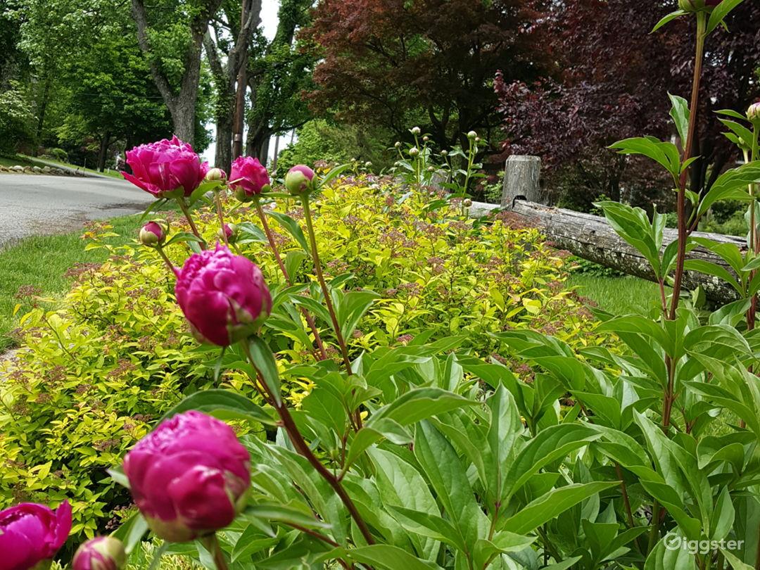 Front garden peonies in bloom...